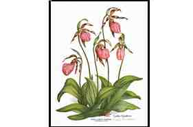 1531 Ladyslipper Flower Notes and Envelopes